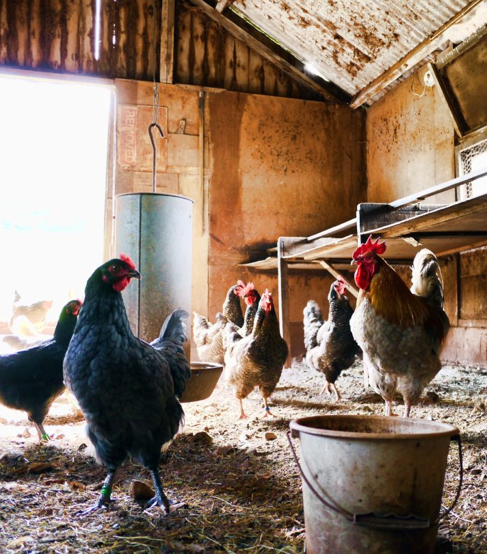 agriculture-animals-barn-840111